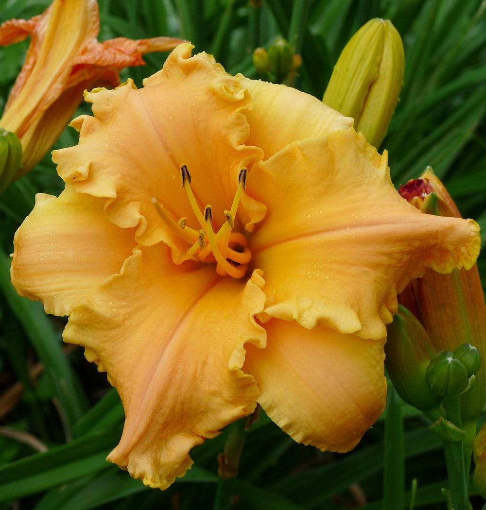 Photo of Daylily (Hemerocallis 'Butterfly Whisper') uploaded by admin