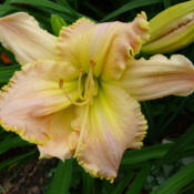 Location: Hemerocallis 'Acquired Taste' flowering in the Allen Centennial Gardens at the University of Wisconsin-MadisonDate: 2014-07-17Photo courtesy of: James Steakley