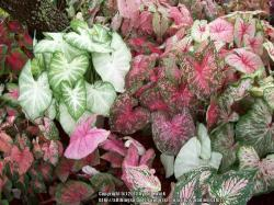 Thumb of 2014-12-20/caladiums4less/050d1d