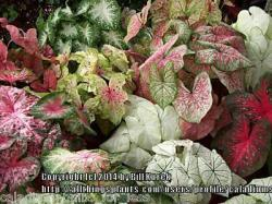 Thumb of 2014-12-20/caladiums4less/baa85f