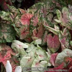 Thumb of 2014-12-20/caladiums4less/ced0f9