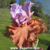 Date: 2012-04-20Photo courtesy of Napa Country Iris Garden