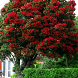 New Zealand Christmas Tree.Photo Of New Zealand Christmas Tree Metrosideros Excelsa