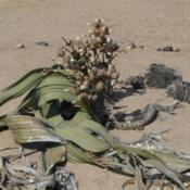 Location: Welwitschia mirabilis female (Namibia)Date: 2014-12-28Photo courtesy of: Zigomar