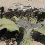 Location: Welwitschia mirabilis male (Namibia)Date: 2008-08-10Photo courtesy of: Zigomar