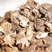 Location: Tenterfield NSW AustraliaDate: 2013-06-13Canna Seeds .. Close-up.