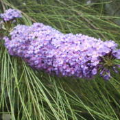 Location: Tenterfield NSW AustraliaDate: 2014-12-26Buddleja Resting on Casuarina ('She Oak')