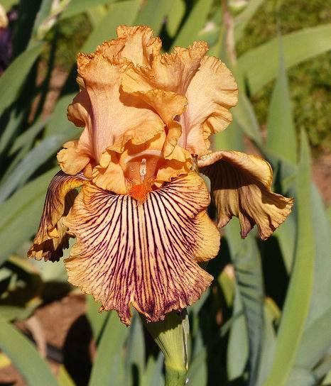 Photo of Tall Bearded Iris (Iris 'Teasing Tiger') uploaded by Misawa77