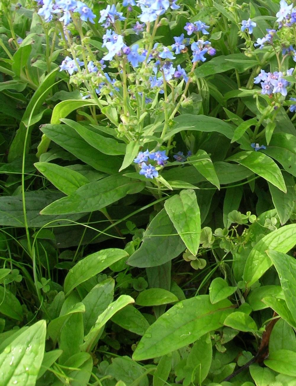 Photo of Chinese Forget-Me-Not (Cynoglossum amabile) uploaded by admin