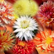 Location: Tenterfield NSW AustraliaDate: SummerDahlia Collage