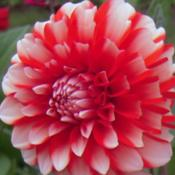 Location: Tenterfield NSW AustraliaDate: 2012-08-11Dahlia Wow Power!