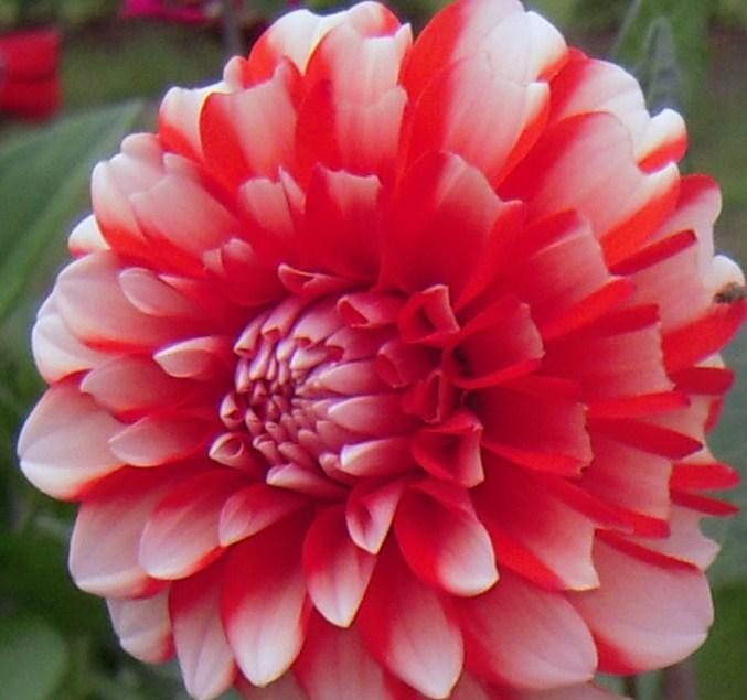 Photo of Dahlias (Dahlia) uploaded by FleudeLisCanna