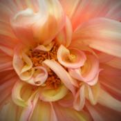 Location: Tenterfield NSW AustraliaDate: 2011-12-28Dahlia .. 'Close to the Centre'