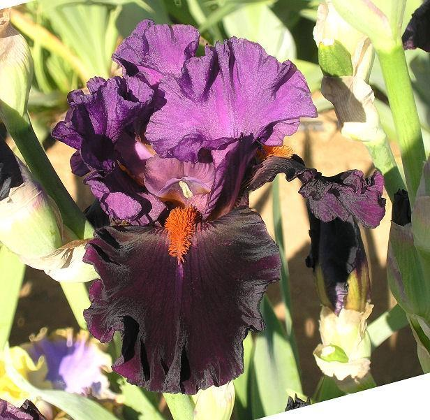 Photo of Tall Bearded Iris (Iris 'Sharp Dressed Man') uploaded by Misawa77