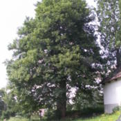 Location: Odranec CZ, Memorable tree,the circumference of the trunk 490 cm, height 24 m, age  about 280 yearsDate: 2011-06-08Photo courtesy of: BíláVrána