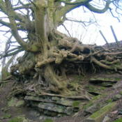 Location: Sycamore roots at Auchenskeith Quarry, near Kilwinning, North Ayrshire, ScotlandDate: 2010-03-12Photo courtesy of: Rosser1954 Roger Griffith