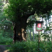 Location: Vestonovice,CZ  Memorable tree,the circumference of the trunk 750cm, age about 600 yearsDate: 2003-06-28Photo courtesy of: Parkis