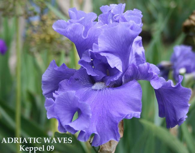 Photo of Tall Bearded Iris (Iris 'Adriatic Waves') uploaded by Calif_Sue