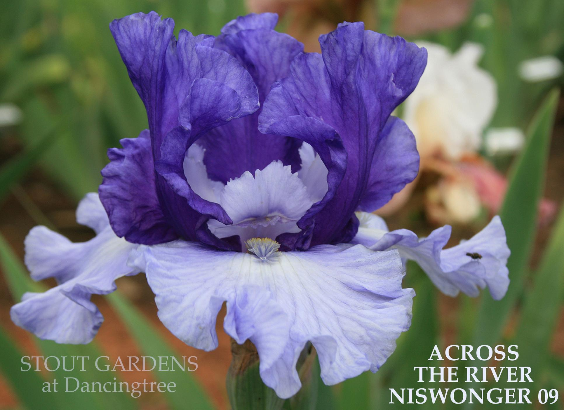 Photo of Tall Bearded Iris (Iris 'Across the River') uploaded by Calif_Sue
