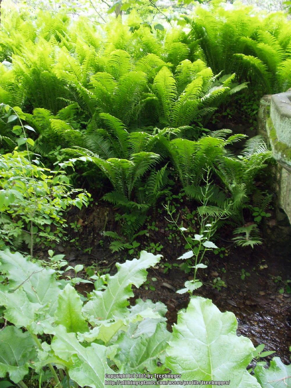 Photo of Ostrich Fern (Matteuccia struthiopteris) uploaded by treehugger
