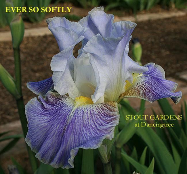 Photo of Tall Bearded Iris (Iris 'Ever So Softly') uploaded by Calif_Sue