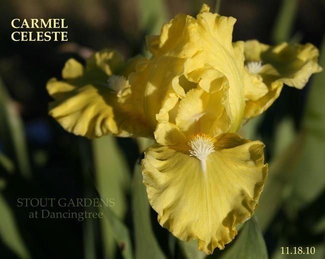 Photo of Standard Dwarf Bearded Iris (Iris 'Carmel Celeste') uploaded by Calif_Sue
