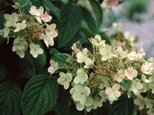 Photo of Panicle Hydrangea (Hydrangea paniculata 'Pink Diamond') uploaded by Calif_Sue