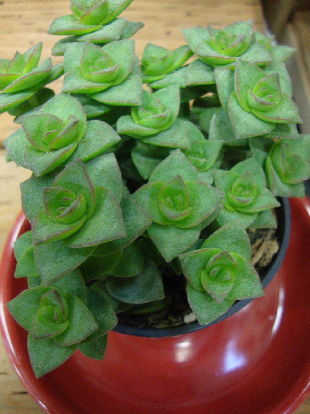 Photo of String of Buttons (Crassula perforata) uploaded by Paul2032