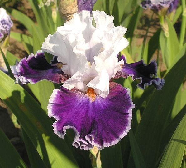 Photo of Tall Bearded Iris (Iris 'Merry Amigo') uploaded by Misawa77