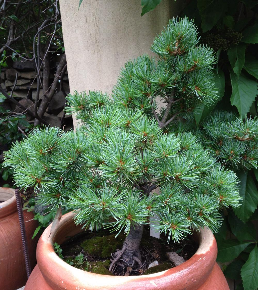 Photo Of The Entire Plant Of Japanese White Pine  Pinus