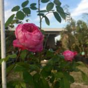 Location: West Covina, CADate: 2015-01-08Gertrude Jekyll