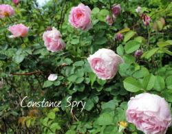 Thumb of 2015-01-12/Cottage_Rose/15d0a9
