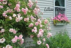Thumb of 2015-01-12/Cottage_Rose/1c304d