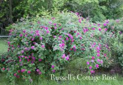 Thumb of 2015-01-12/Cottage_Rose/416cd9