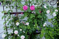 Thumb of 2015-01-12/Cottage_Rose/8a1ca5