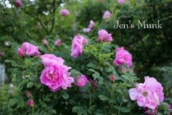 Thumb of 2015-01-12/Cottage_Rose/cb917a