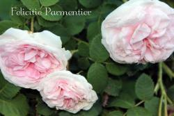 Thumb of 2015-01-12/Cottage_Rose/f56c65