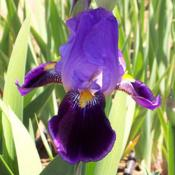 Location: Catheys Valley CAPhoto courtesy of Superstition Iris Gardens, posted with permissi