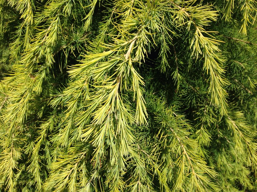 Photo of Deodar Cedar (Cedrus deodara 'Golden Horizon') uploaded by Sunlover