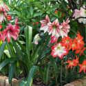 Grow Amaryllis in the Southern Garden