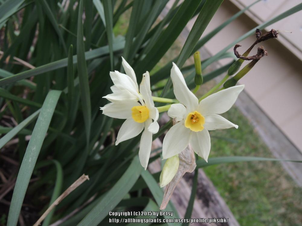 Photo of Daffodils (Narcissus) uploaded by piksihk
