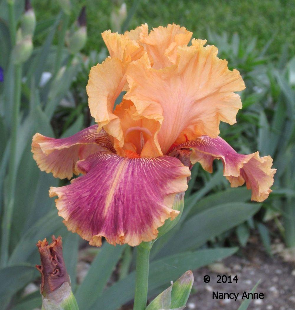 Photo of Tall Bearded Iris (Iris 'Aardvark Lark') uploaded by Bloomers
