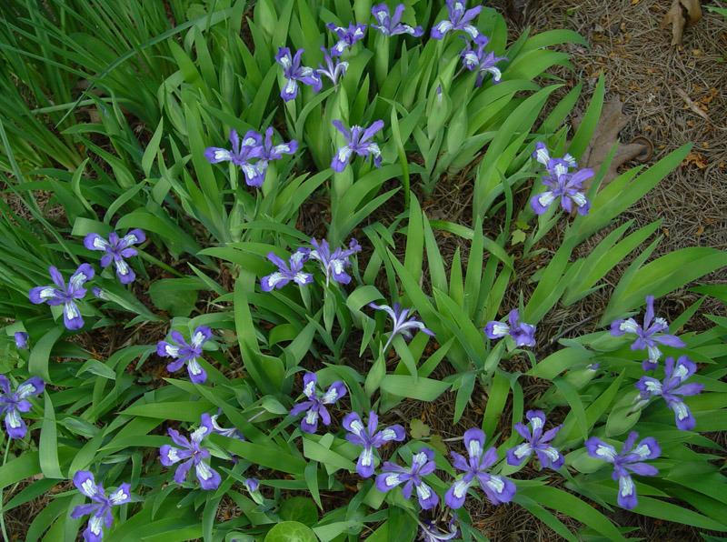 Photo of Species Iris (Iris cristata 'Dash It All') uploaded by Calif_Sue