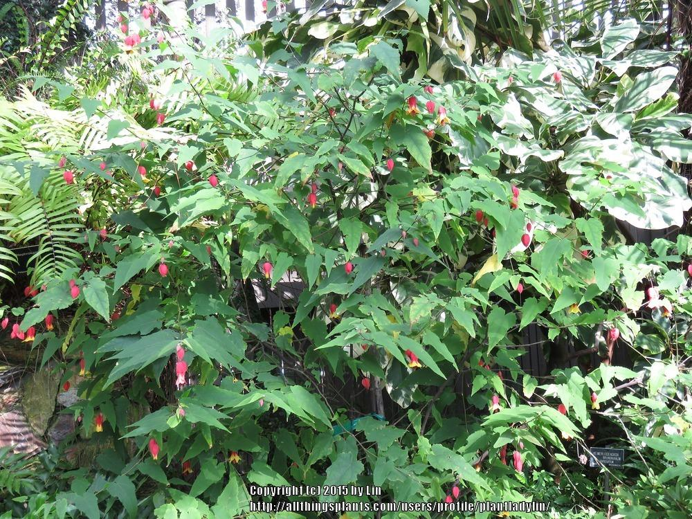 Photo Of The Entire Plant Of Trailing Abutilon Callianthe