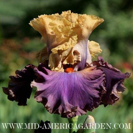Photo of Tall Bearded Iris (Iris 'Air of Mystery') uploaded by Calif_Sue