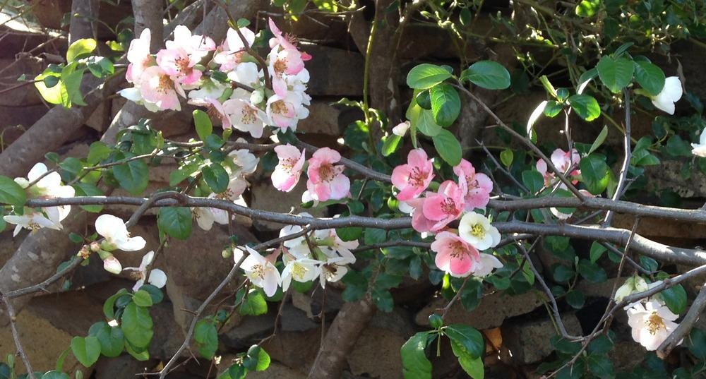 Photo of Flowering Quince (Chaenomeles speciosa 'Moerloosei') uploaded by Sunlover