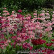 Location: Harlow Carr garden, Yorkshire, UKDate: 2013-06-14The garden is famous for it's strain of candelabra primroses in t