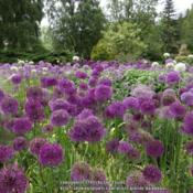 Location: Harlow Carr garden, Yorkshire, UKDate: 2013-06-14En masse in the Spring borders at Harlow Carr