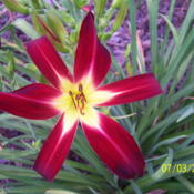 "Location: WisconsinDate: 2012-07-05A beautiful ""star"" in the garden."