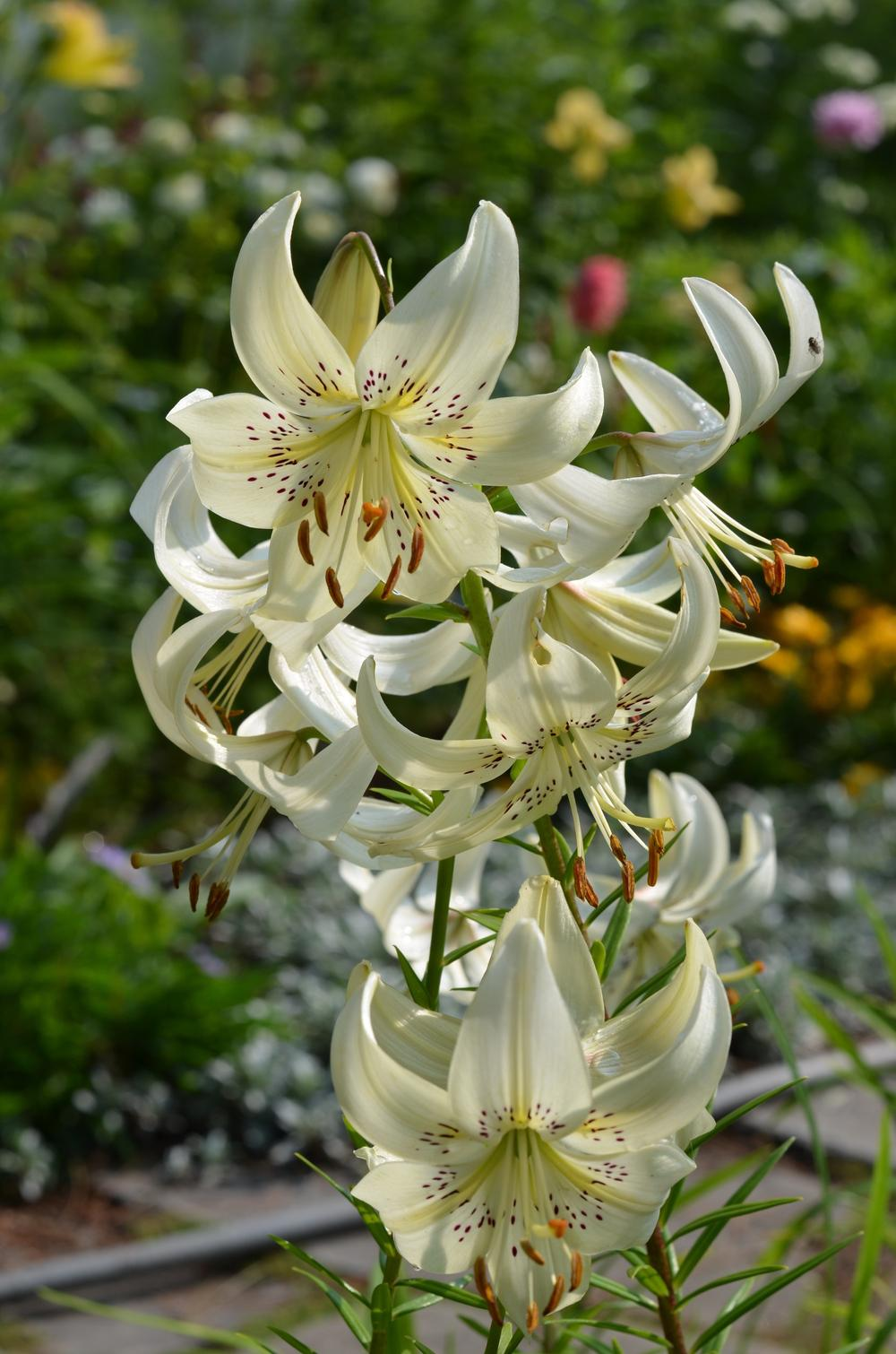 Photo Of The Bloom Of Lily Lilium Sweet Surrender Posted By Anne